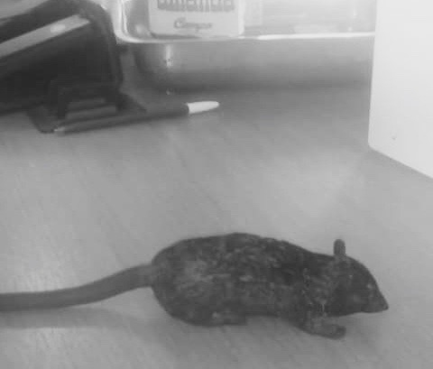 The Rat of Pacheco Community